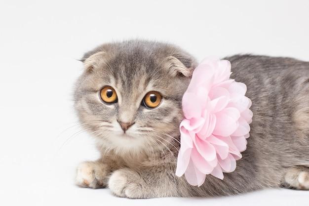 かわいいスコティッシュフォールド猫