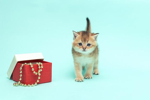 민트 표면에 선물 상자와 귀여운 스코틀랜드 배 새끼 고양이 한 달 된 솜털 황금
