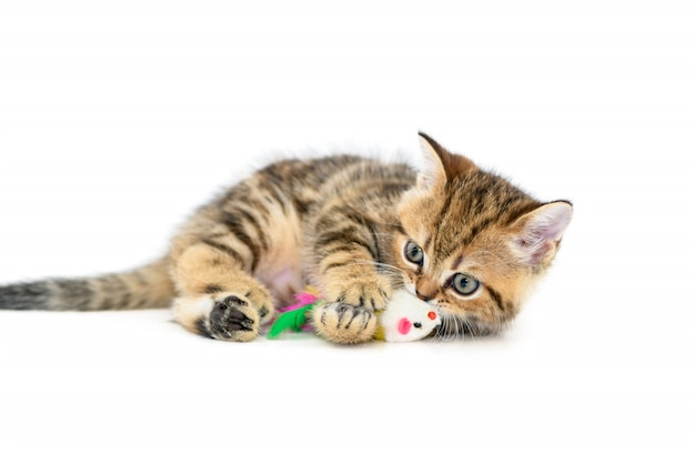 Cute scottish fold kitten playing with a toy isolated