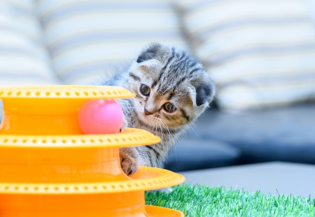 Cute scottish fold kitten playing with a toy,