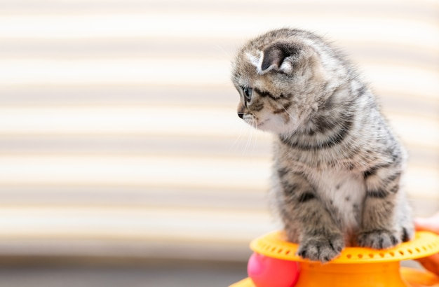 Cute scottish fold kitten playing with a toy