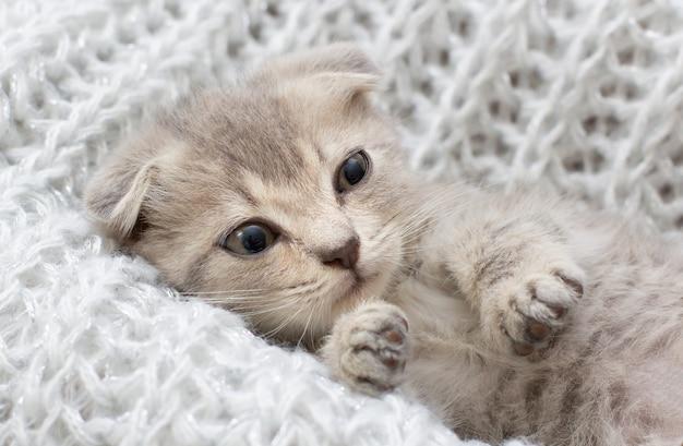 Милый котенок шотландской вислоухой спит в мягком одеяле