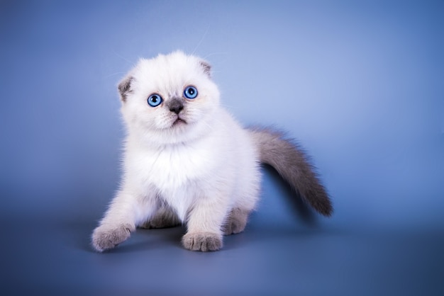 青い目をしたかわいいスコティッシュフォールドショートヘアシルバーカラーポイント子猫。