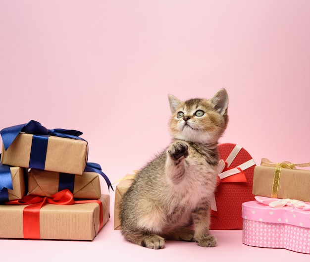 Cute scottish golden chinchilla kitten sits on a pink surface surrounded by gift boxes