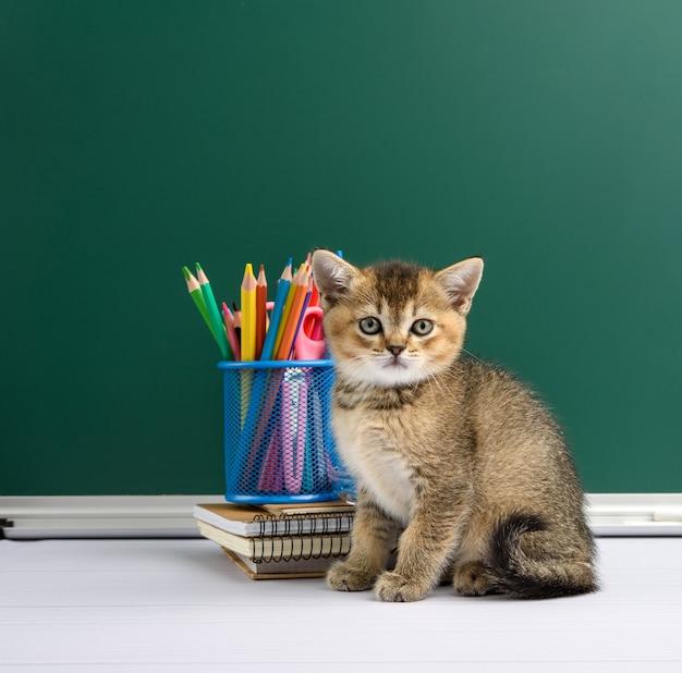 後ろに緑のチョークボードと黄色のノートの隣に座っているかわいいスコットランドの黄金のチンチラの子猫