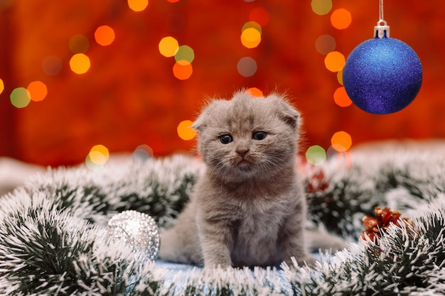 Cute scottish kitten with christmas background