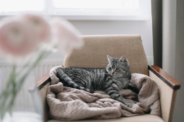 屋内の肘掛け椅子に横たわっているかわいいスコットランドのまっすぐな猫
