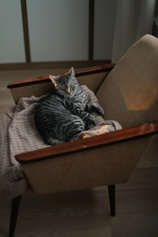 Милый шотландский прямоухий кот спит в уютном кресле в помещении