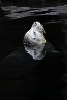 Leone di mare sveglio che nuota nell'oceano in alaska