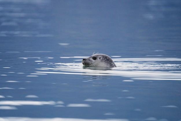 Милый тюлень играет в ледниковой лагуне, исландия
