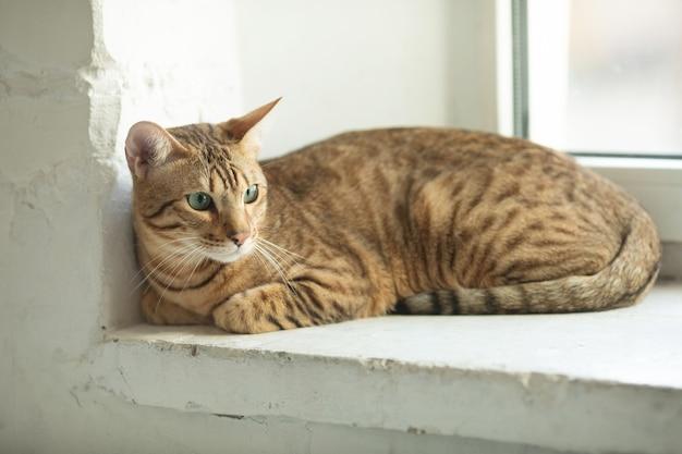 A cute serengeti cat lies on the windowsill