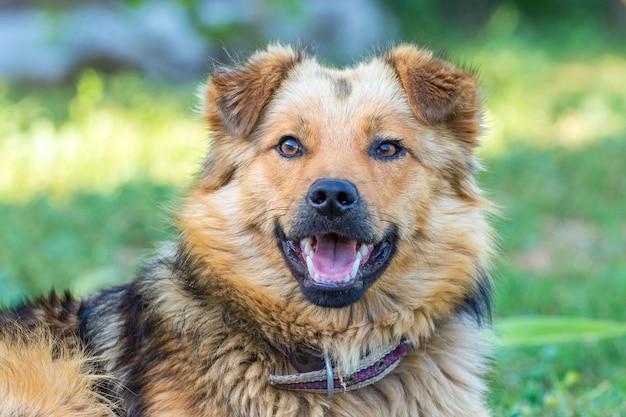 かわいい毛むくじゃらの犬。口を開けた犬の肖像画