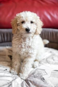 Cute shaggy little cream poodle puppy