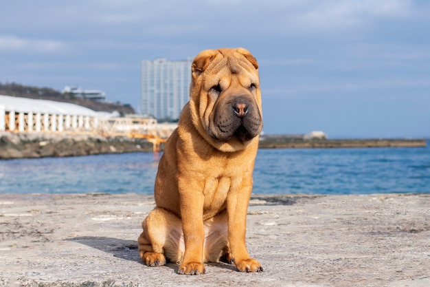 A cute shar pei dog sits on a pier on the beach.