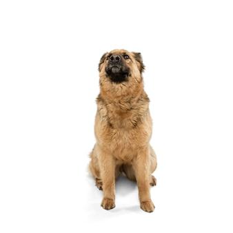 白い壁の上に孤立してポーズをとってかわいい羊飼い犬
