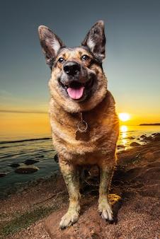 夕方にビーチで休んでいるかわいい羊飼いの犬