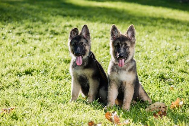 Симпатичные щенки овчарки позируют на траве