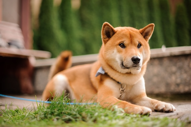 Cute shiba inu in the blue butterfly on the leash lying on the stone walkway near the grass