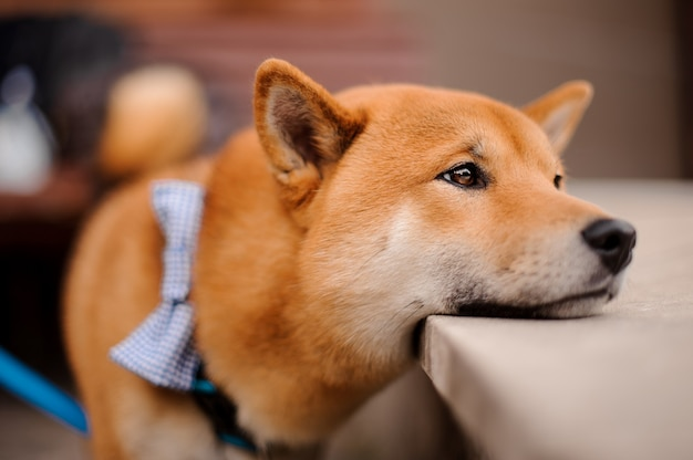 Cute shiba inu in the blue butterfly on the leash putting a head on the stone