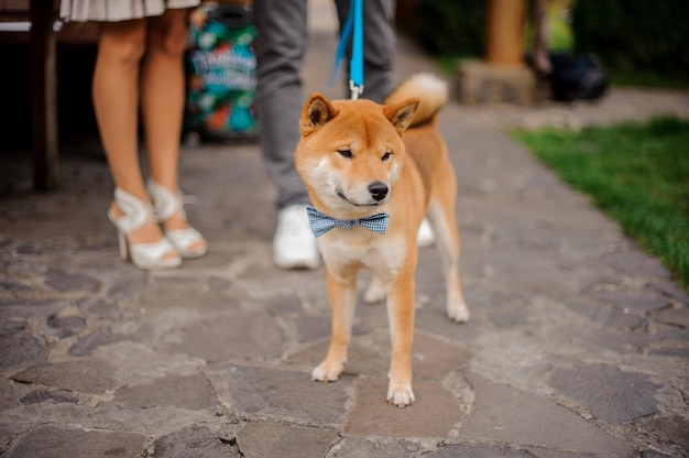 Cute shiba inu in the blue butterfly on the leash standing near the owner on the stone walkway near the grass