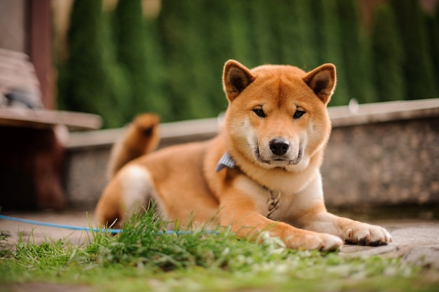Cute shiba inu in the blue butterfly on the leash