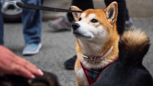 Cute shiba inu dog portrait