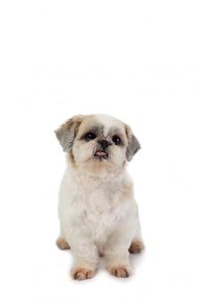 床に座って舌を突き出してかわいいシーズー犬