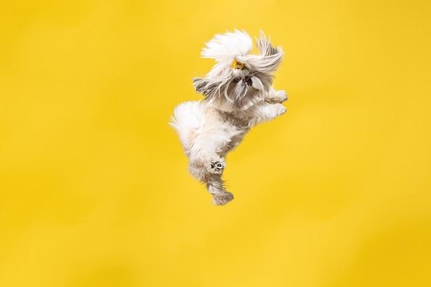 かわいいシー・ズーは黄色の背景に座っています。菊の犬シー・ズー