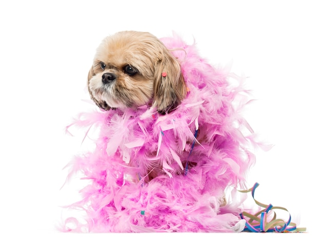 Cute shih tzu partying isolated