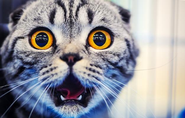 노란 눈을 가진 귀여운 충격 된 고양이
