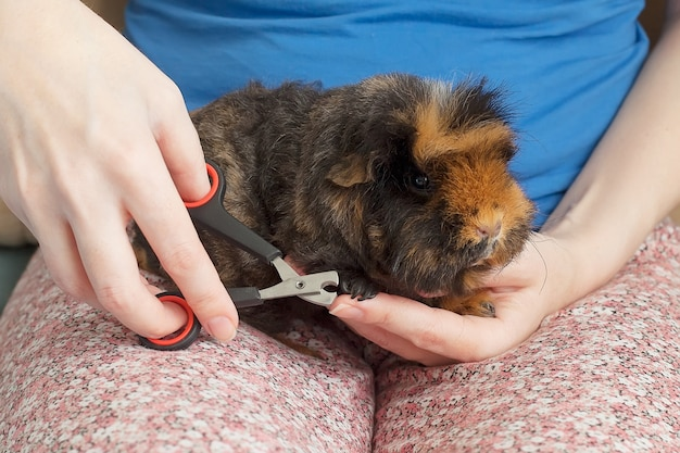 Cute shy guinea pig with its paw on a human finger as if shaking hands