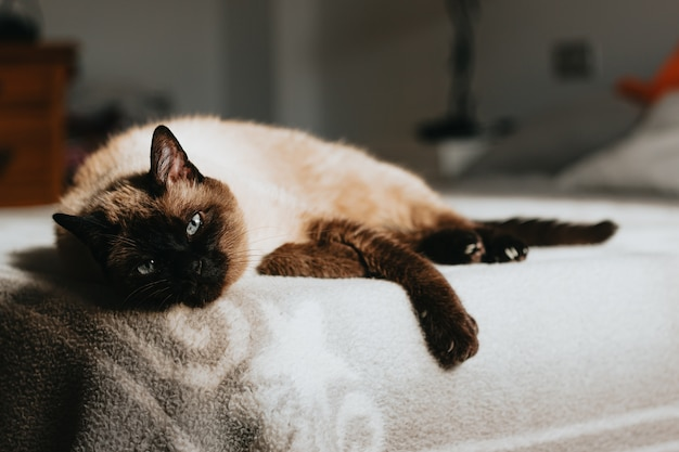 Cute siamese cat resting in the bed