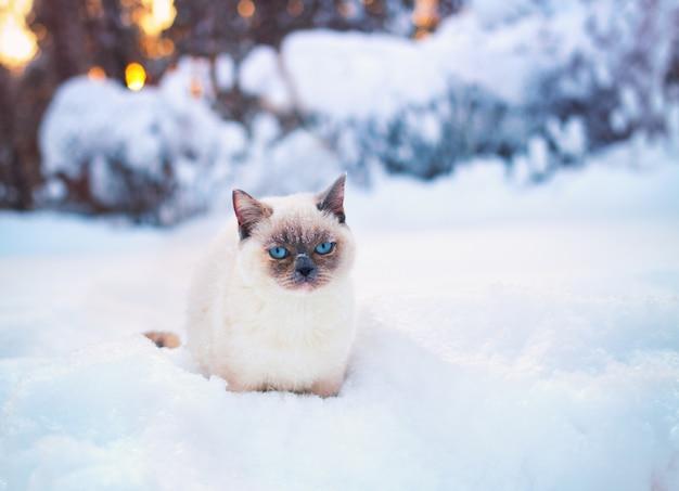 Милый сиамский кот гуляет по снегу