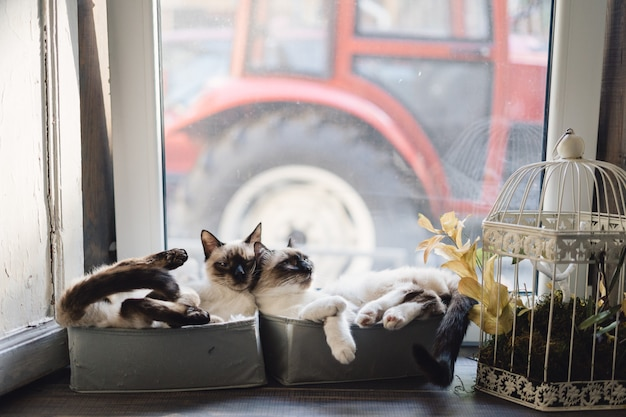 Cute siamese cats lying in boxes near the window