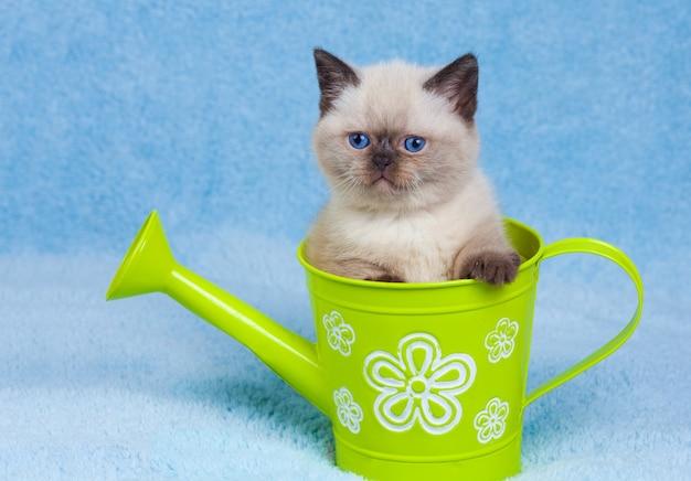 Милый сиамский котенок сидит в игрушечной лейке