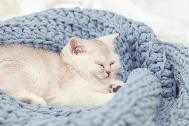 Cute silver british kitten sleeps on a blue knitted blanket. home comfort.