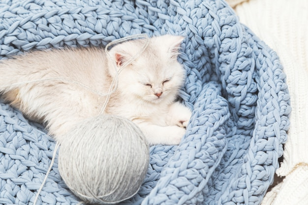 Cute silver british kitten sleeps on a blue knitted blanket with a ball of thread. home comfort.