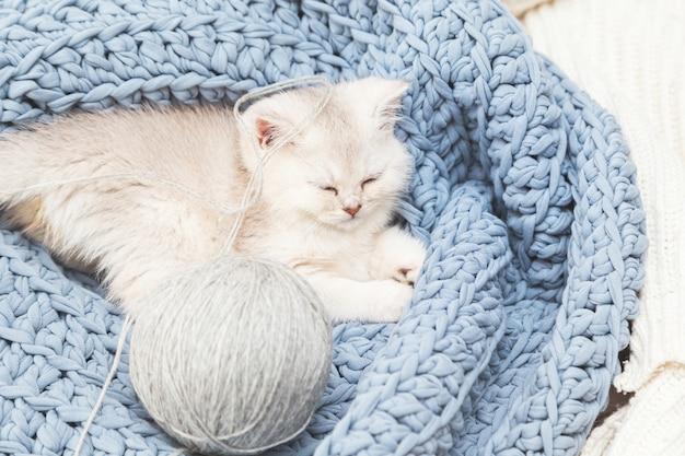 귀여운 은색 영국 새끼 고양이는 실의 공을 가진 파란색 니트 담요에 잔다. 가정의 편안함.