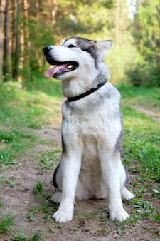 Cute sitting smiling malamute facing the camera with its mouth open seen from the front in the forest