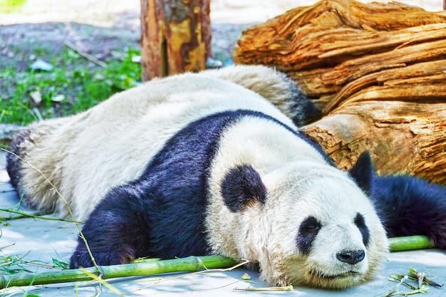 자연 서식지에서 귀여운 잠자는 팬더.