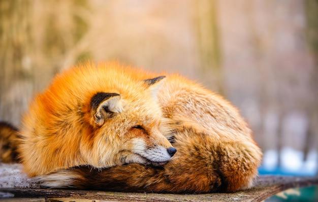 冬にかわいい眠っている赤いキツネ