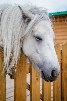 木製のフェンスでかわいい眠っている白いポニー