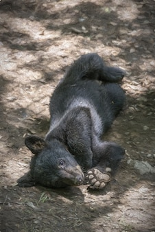 Cute small black bear laying on the ground