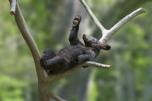 Cute small black bear on a tree branch with blurred background