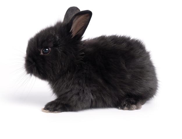 귀여운 작은 검은 토끼 흰색 절연