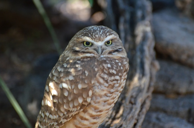 Cute small burrowing owl looking around his surroundings.