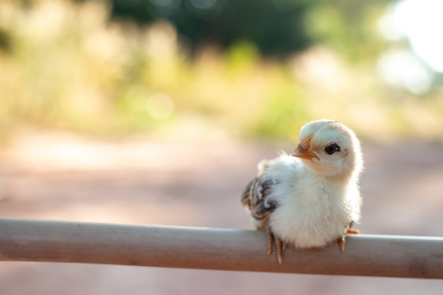 Cute small chicks in nature, the soft sunlight in the morning
