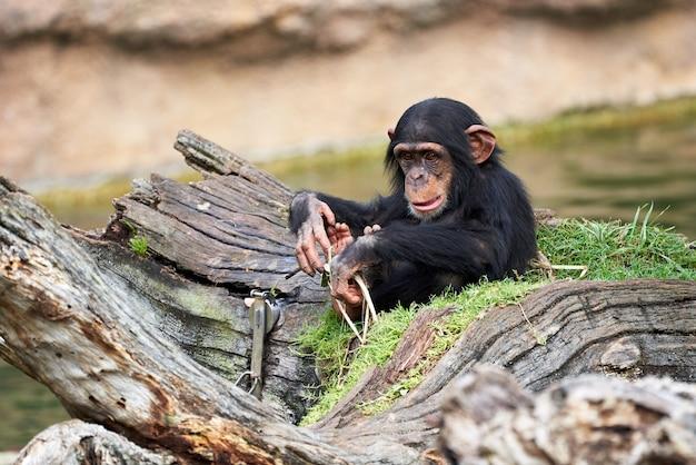 Милый маленький шимпанзе отдыхает на бревне в зоопарке