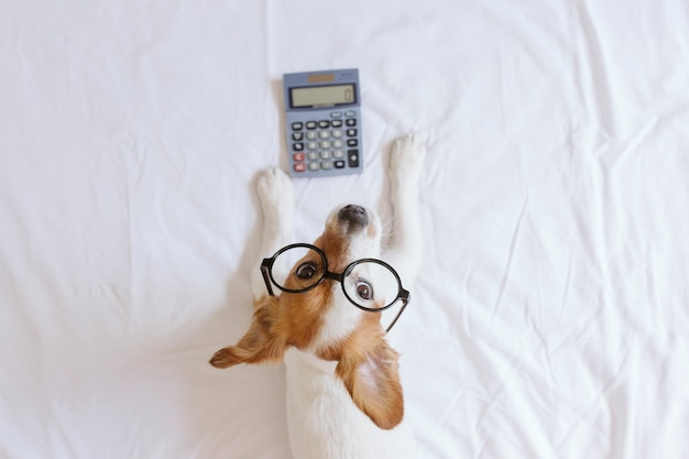 Cute small dog accountant thinking and calculating with calculator on bed