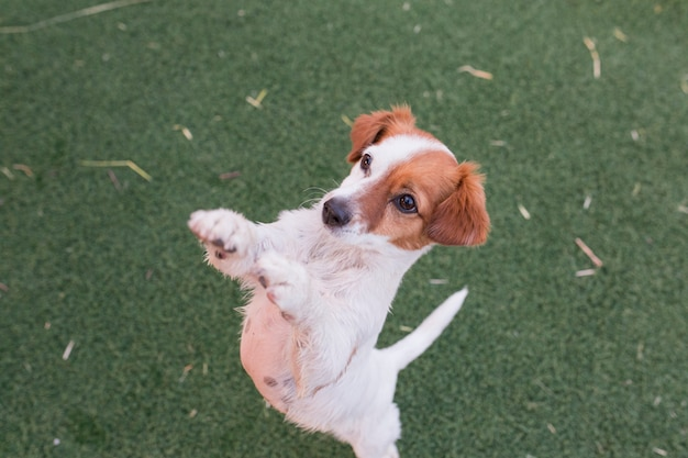 Cute small dog asking for food or treats standing on two legs